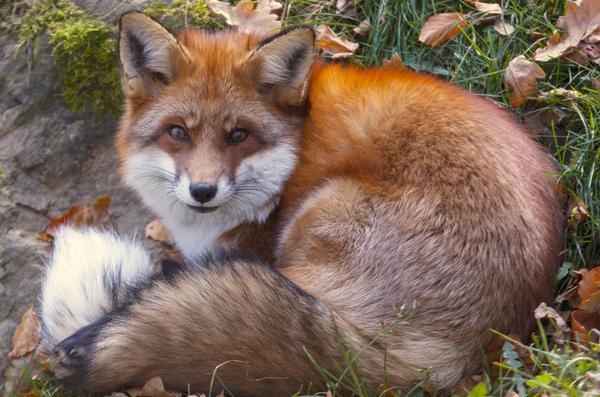 Fluffy Fox by VXLphotography by VXLPhotography