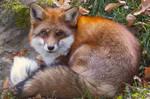 Fluffy Fox by VXLphotography