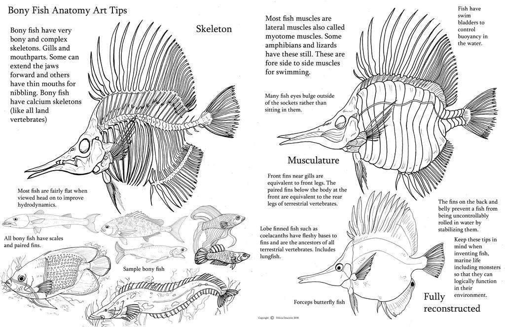 Bony fish anatomy by Auronyth on DeviantArt