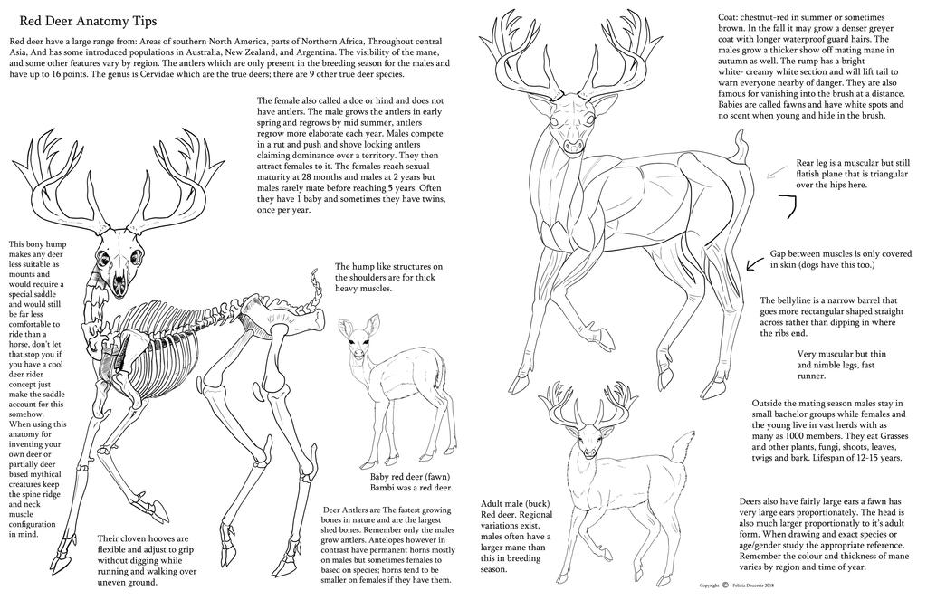 Red Deer Anatomy tips by Auronyth