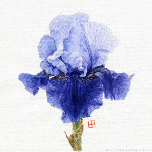 Iris Germanica by Shtarka