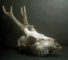 deer skull stock 2 by vaoni-stock