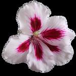 PNG Geranium Flower 02