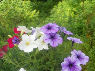 My Petunias 2
