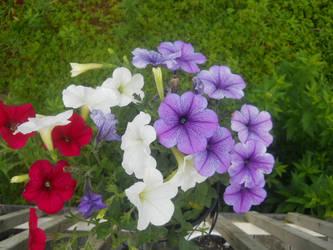 More Petunias