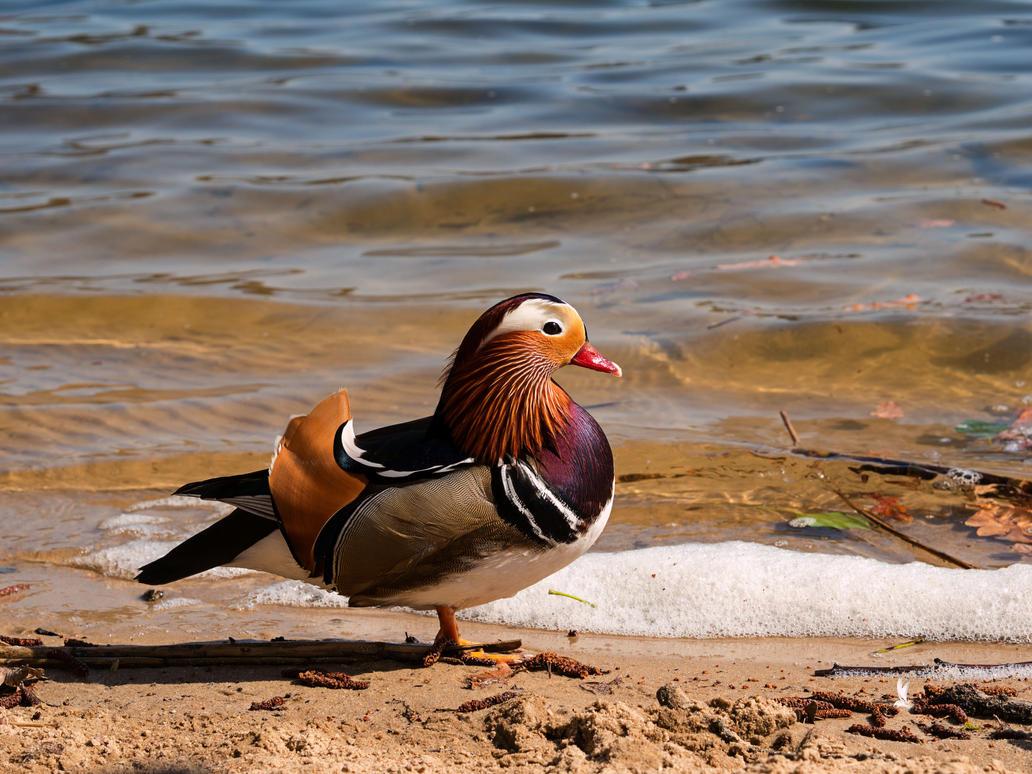 Mandarin duck by ZePhyrC4