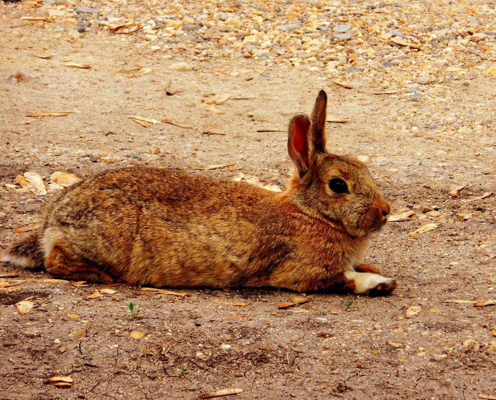 Rabbit by XxDarkbutterflyxX
