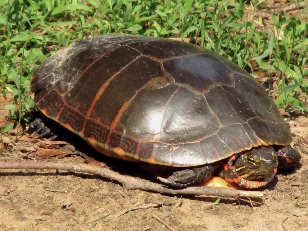 turtle in my backyard by koimonster22 on deviantart