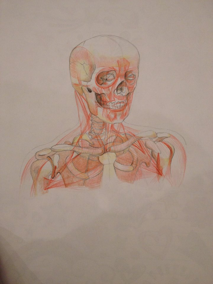bones and muscles of the human head and upper body by loenabelle
