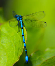 Dragonfly by Aldeb77