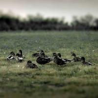 EDBD Ducks by TimLaSure