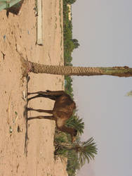 palm tree in Jordan Desert