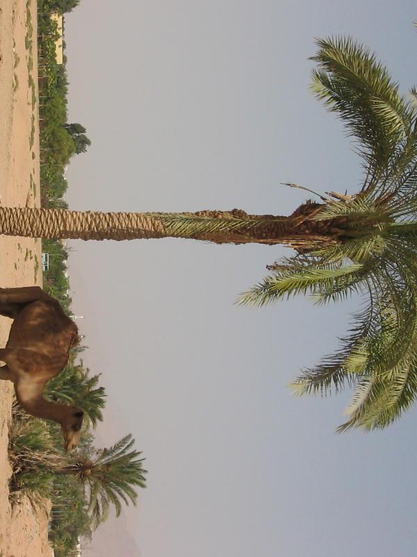 palm tree in Jordan Desert by mayah-stock