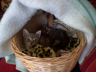 Kittens in basket 2 by Tinyduck