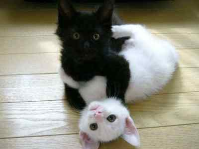 black and white cute kittens by kittystarheart123