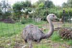 an ostrich by aradilon