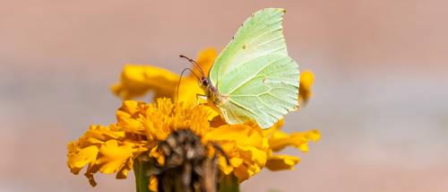 Common Brimstone Butterfly 21:9 uwhd wallpaper by aradilon