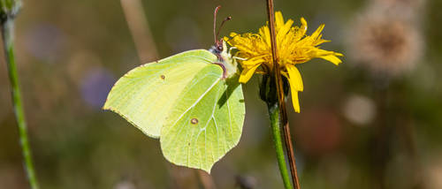 Common Brimstone Butterfly 21:9 uwhd wallpaper 2 by aradilon