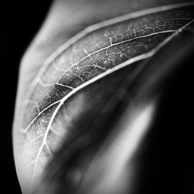 Ficus Leaf 1