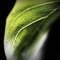 Ficus Leaf 1 color by DaBorgne