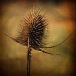 Scratched Thistle