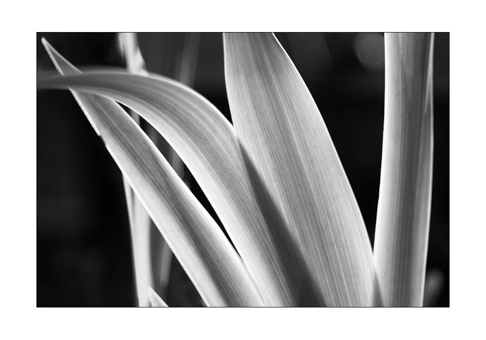 Iris II by DaBorgne