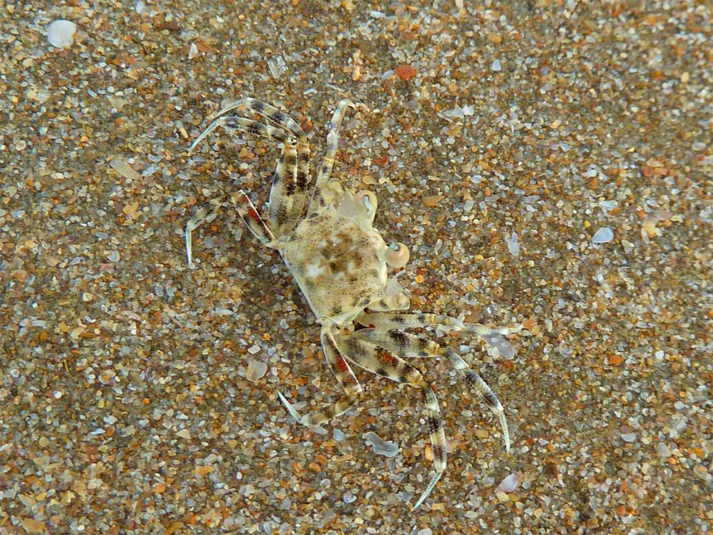 Crabby Camouflage by Psyfr34k