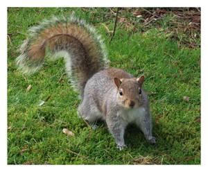 - Grey Squirrel -