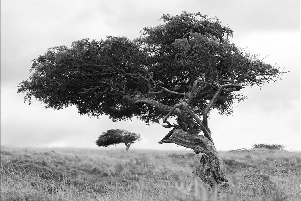 Windswept Tree by Alta13