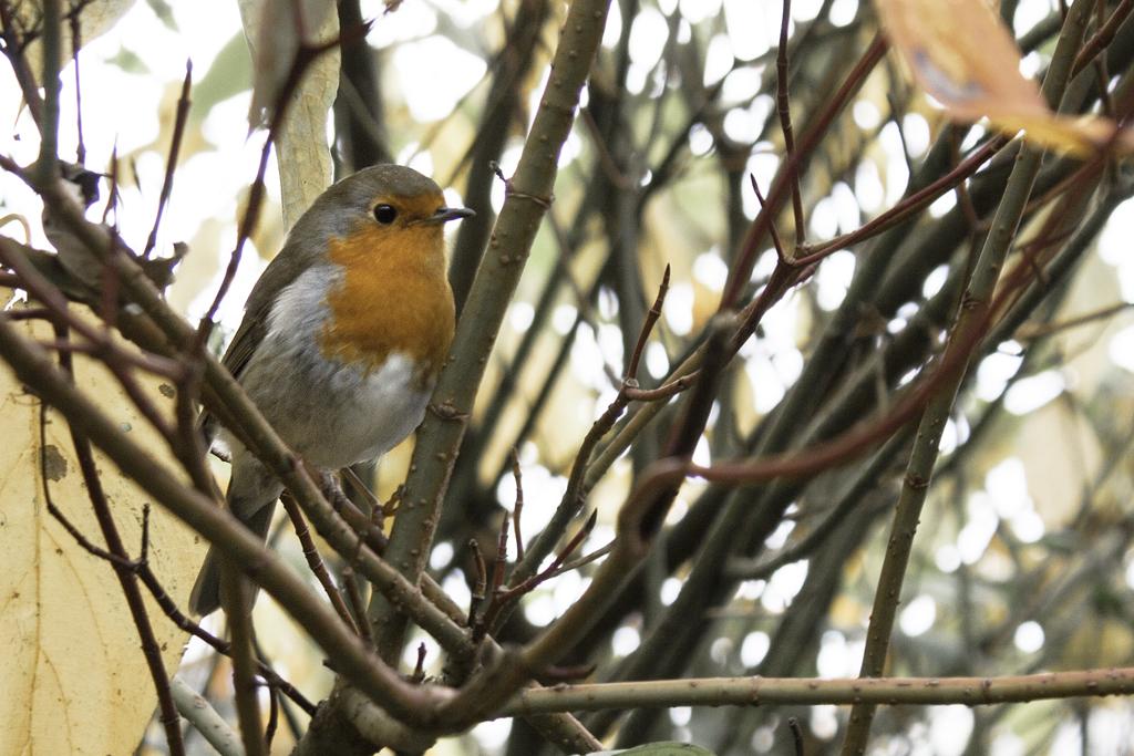 Robin by Alta13