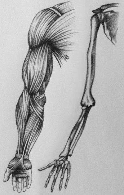 muscle and bone study by miyasia on deviantart, Muscles