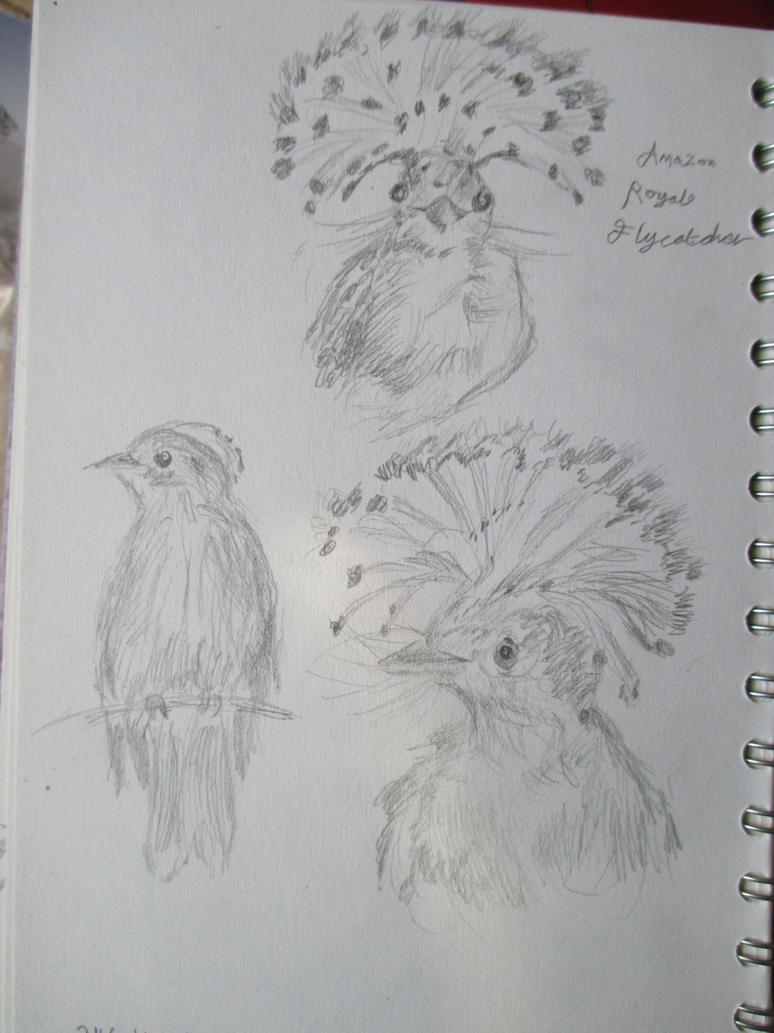 Small Amazonian Royal Flycatcher studies by shadowgeisha