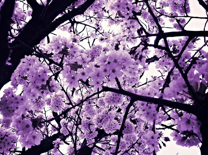 VIOLET - Page 3 Purple_blossom_by_xxhizumi_loverxx-d4eb3qr