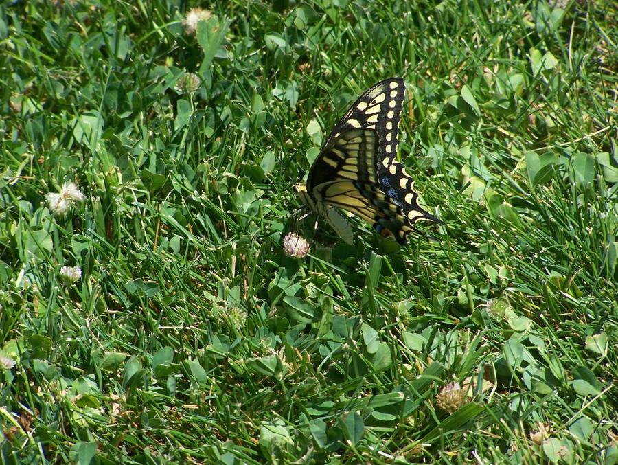 Butterfly in My Lawn