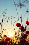 poppy by PatrickRuegheimer