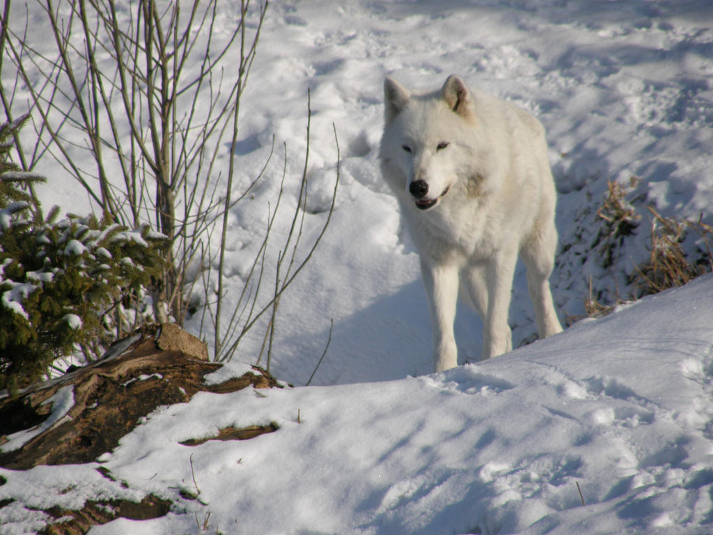 Arctic wolf by fictionary