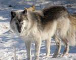 Gray Wolf III