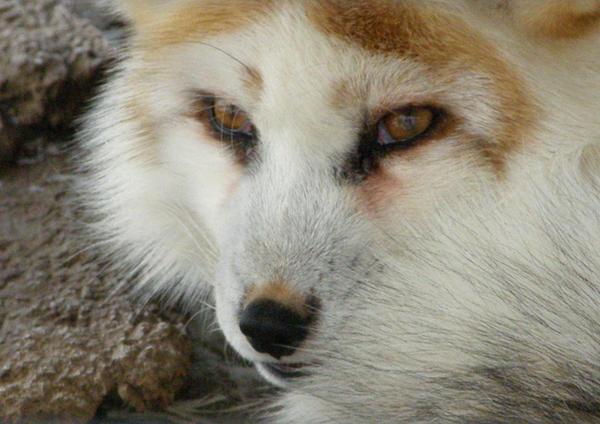 Hybrid Fox III by Fictionary on DeviantArt