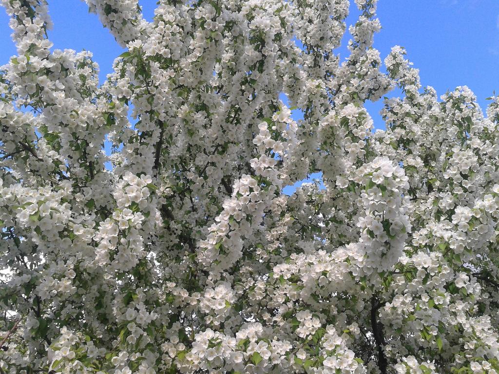 Blooming Apple tree by Not-Sleeping-Owl
