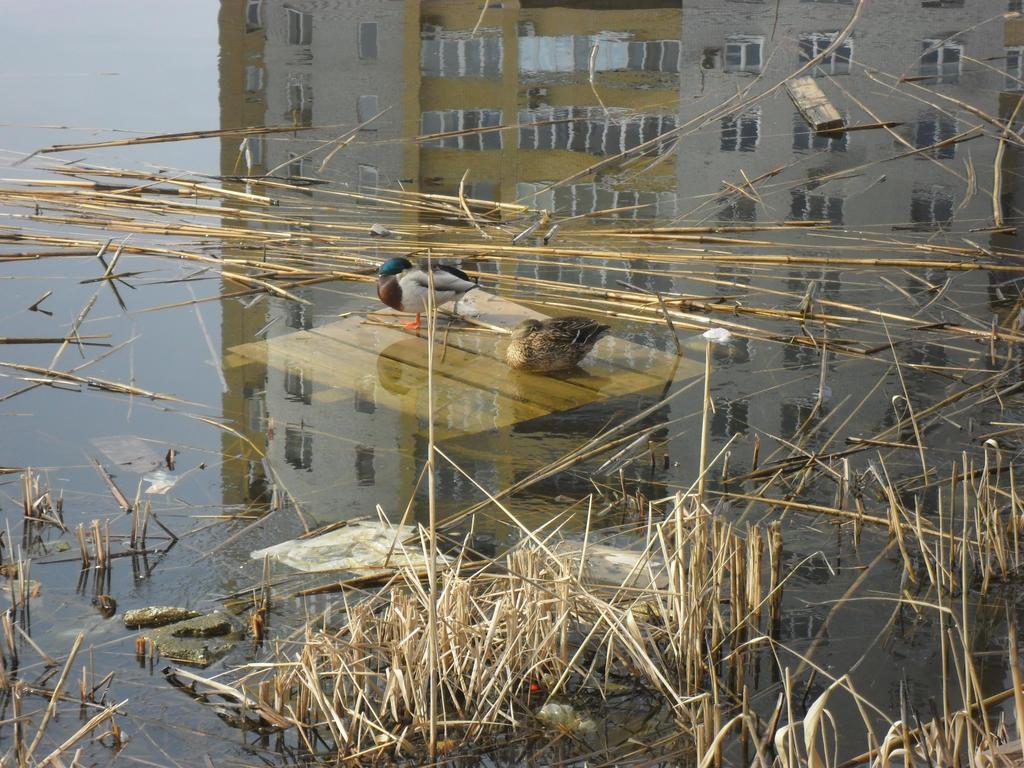 Ducks in my city 1 by Not-Sleeping-Owl