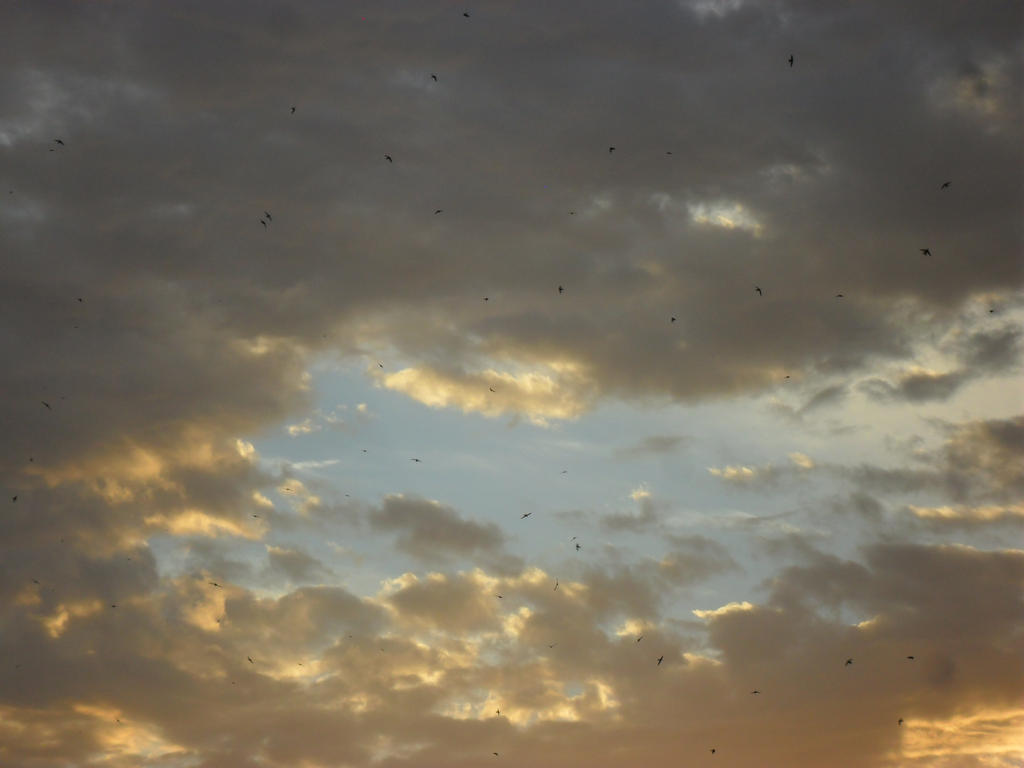 Swifts at sunset 2 by Not-Sleeping-Owl