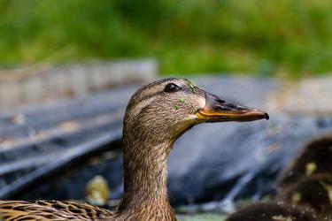Duck in the garden by baari87