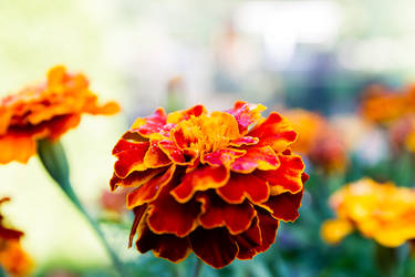 marigold by baari87