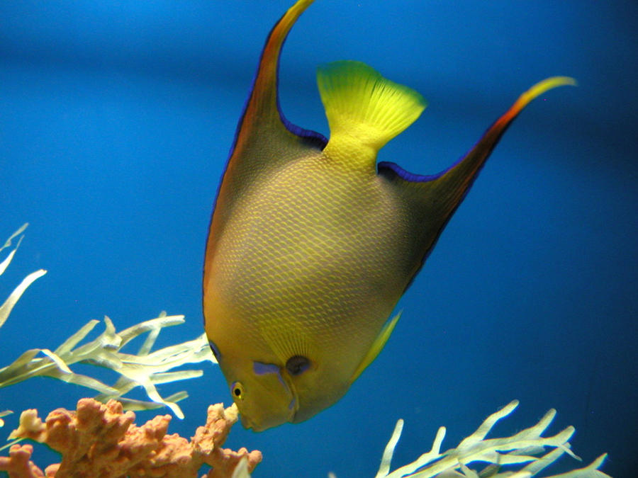 Queen angelfish by Kan...