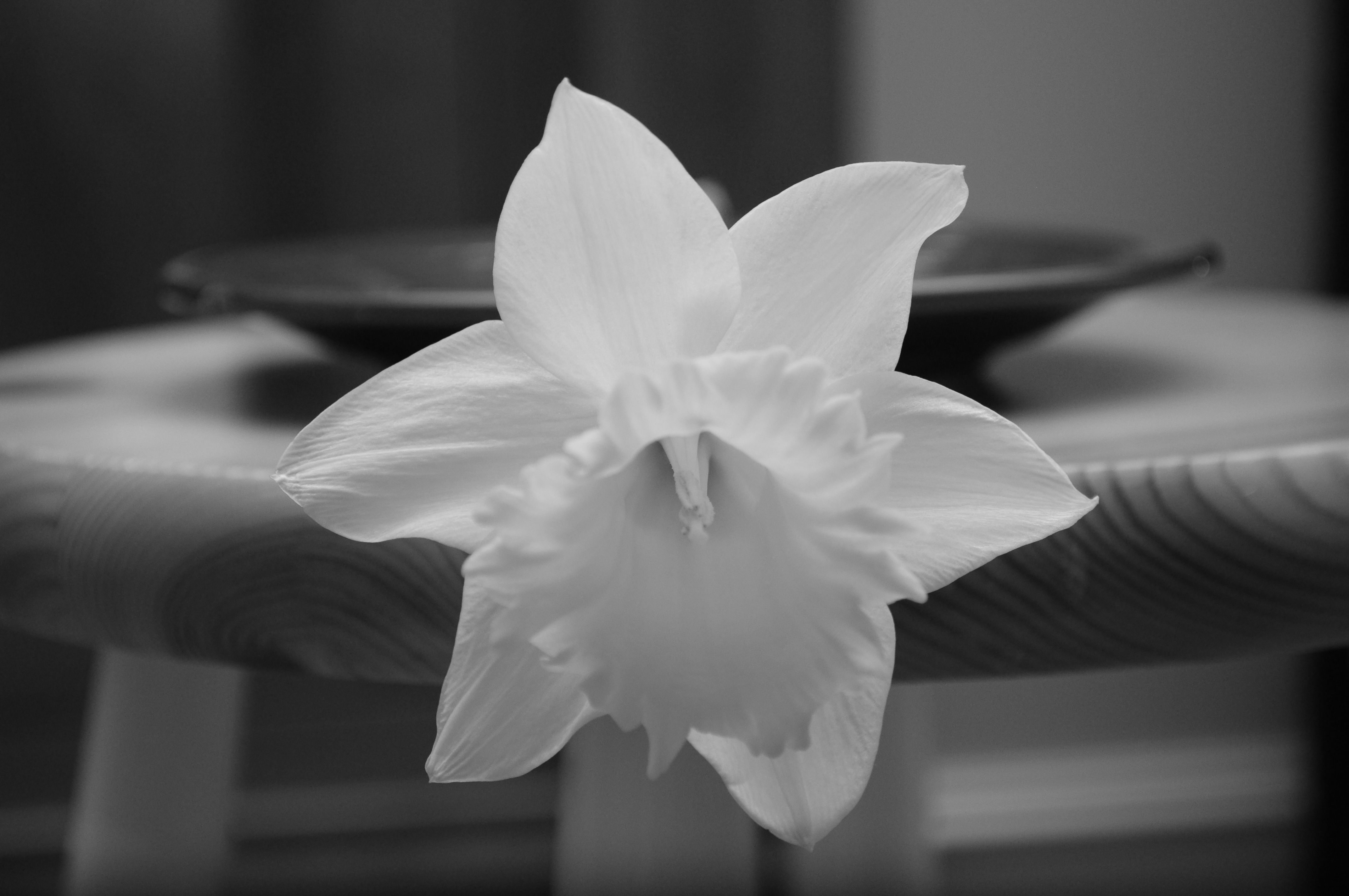 black and white daffodil by minniman on DeviantArt