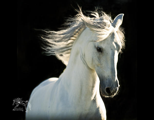 White Stallion Head Study By Kvickrey On Deviantart