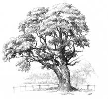 Maple tree drawing for Domin drawing course