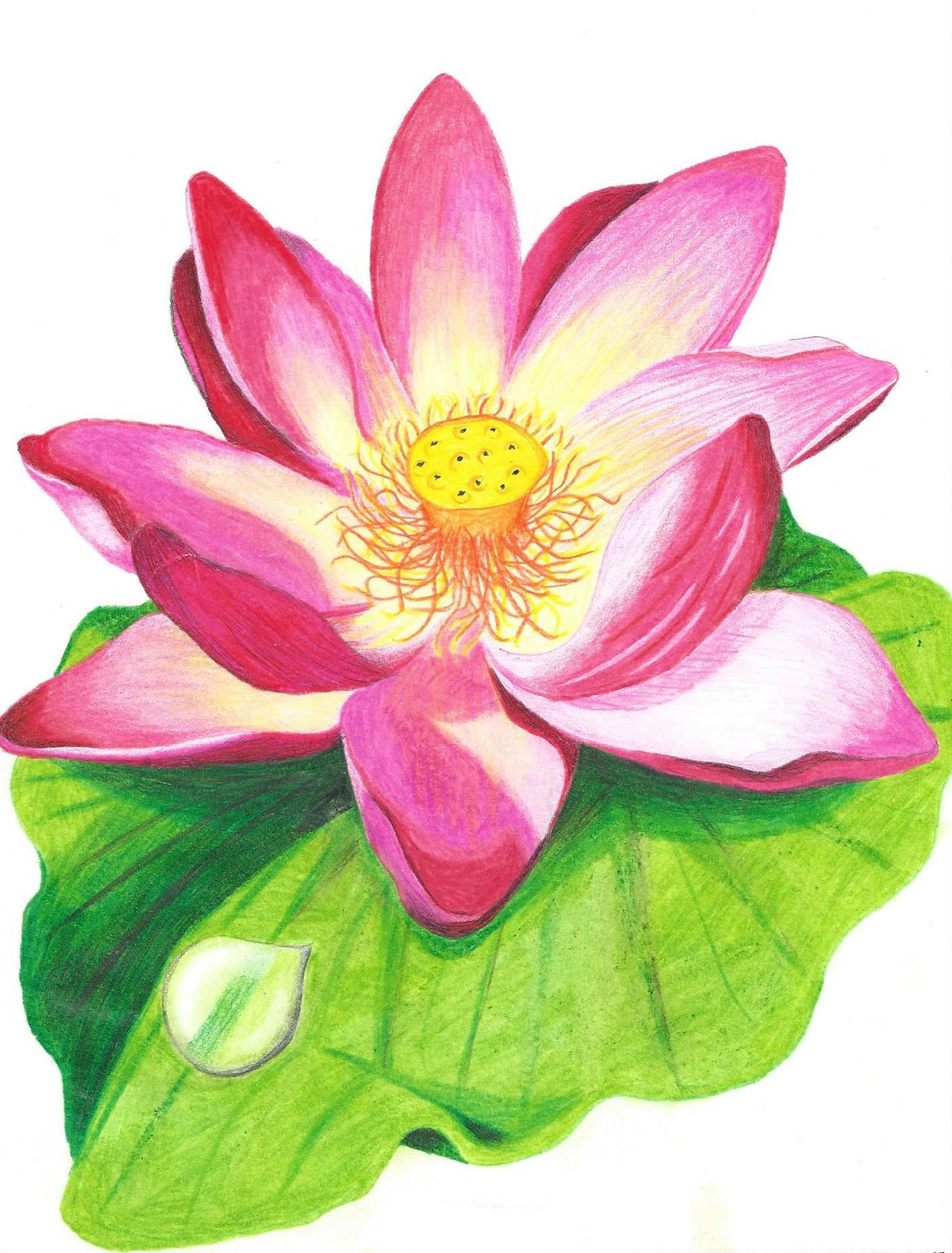 Lotus flower with colored pencil drawing by JenniferNachtigal87 on DeviantArt