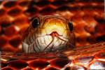 Macro photo of Rex, our pet Corn Snake by deathproneimages