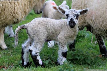 Cuteness overload lamb photo, Happy Easter!